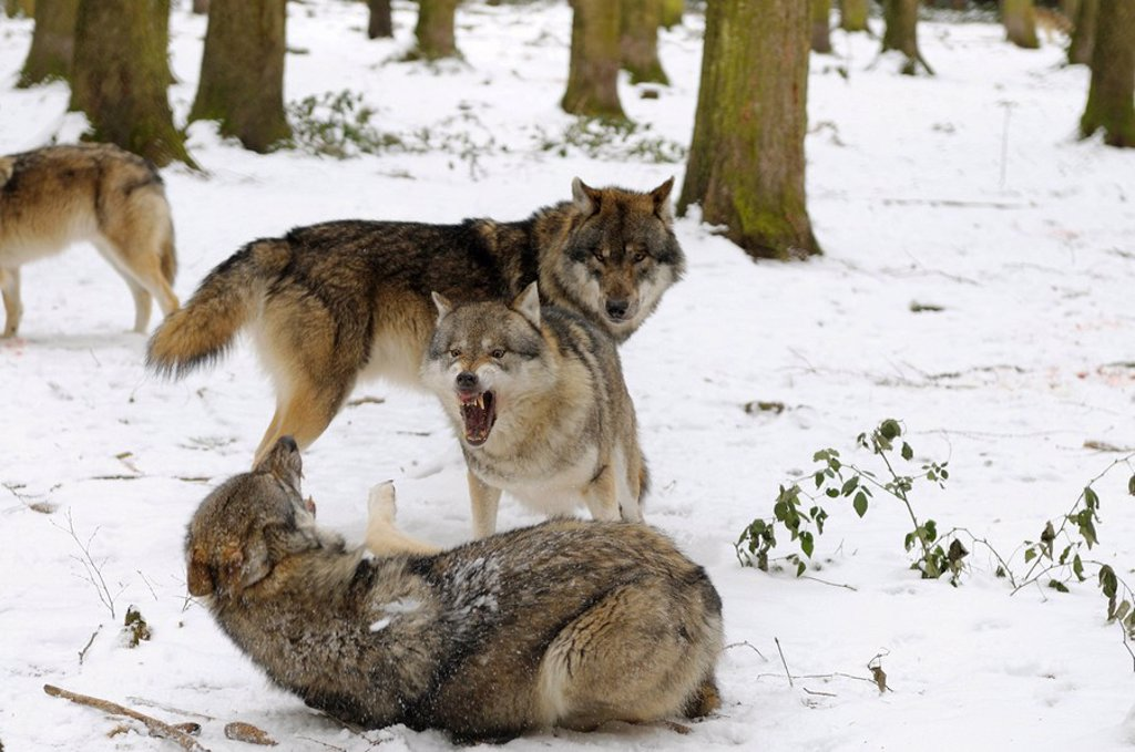 Grey wolves Canis lupus fighting in forest : Stock Photo