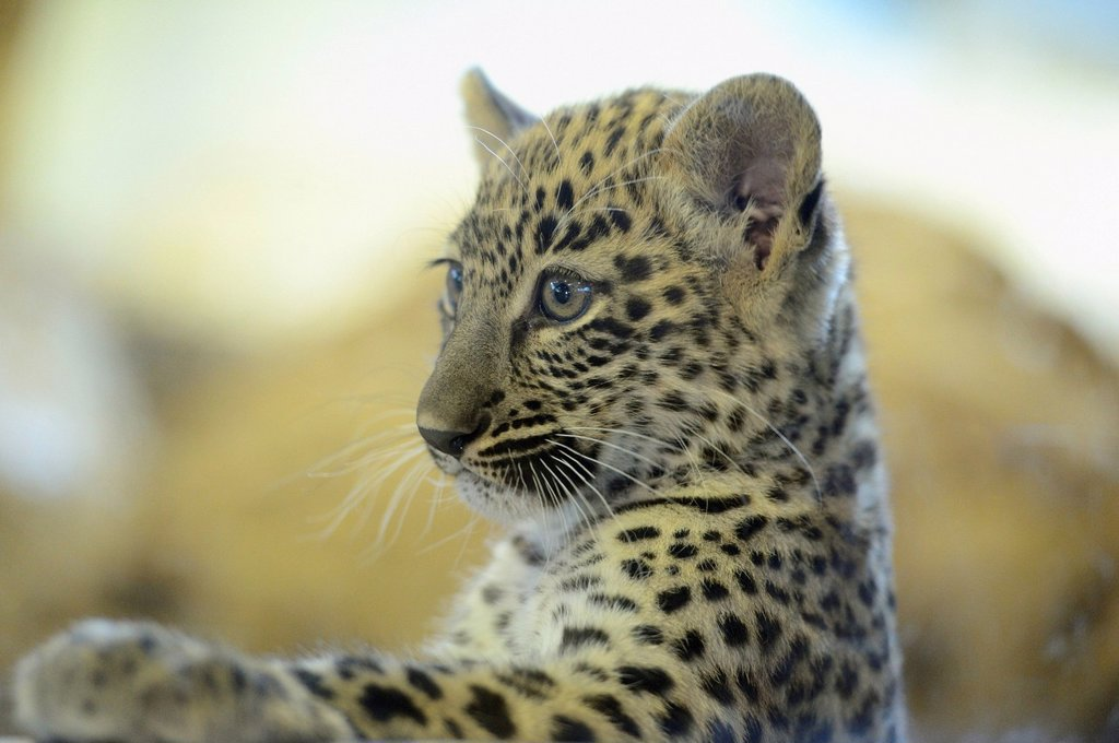 Persian leopard cub (Panthera pardus ciscaucasica), Zoo Augsburg, Bavaria, Germany : Stock Photo