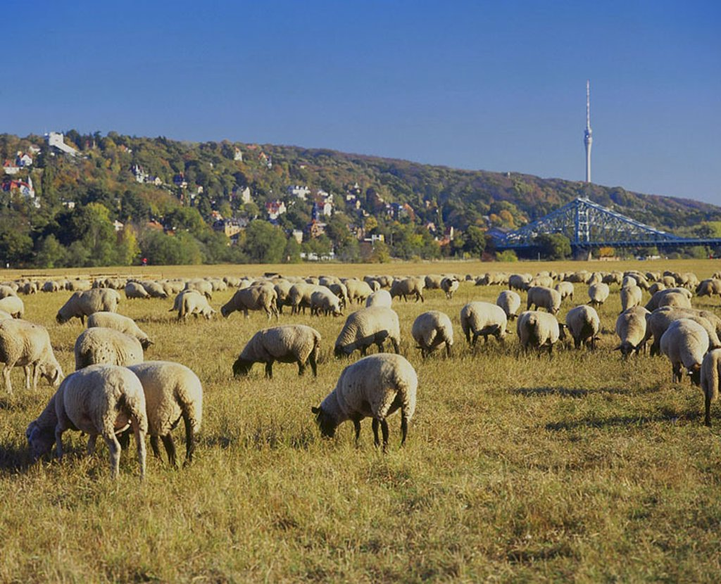 Stock Photo: 1841-13456 Flock of sheep grazing grass in field, Lingnerschloss, Blaues Wunder, Dresden, Saxony, Germany