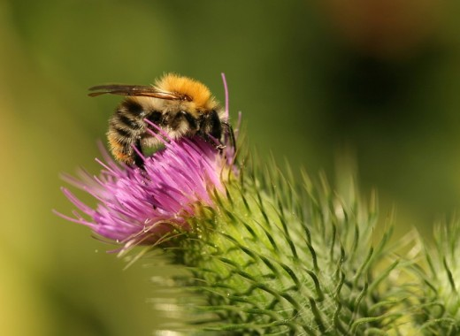 Close_up of bumblebee pollinating flower : Stock Photo