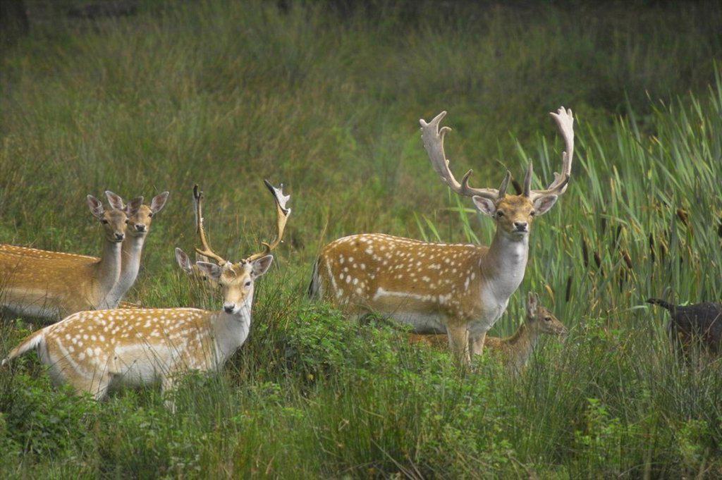 Fallow deer Cervus Dama standing in field, Germany : Stock Photo