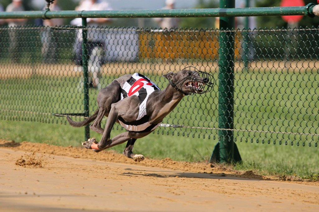 Whippet dog running on race track : Stock Photo