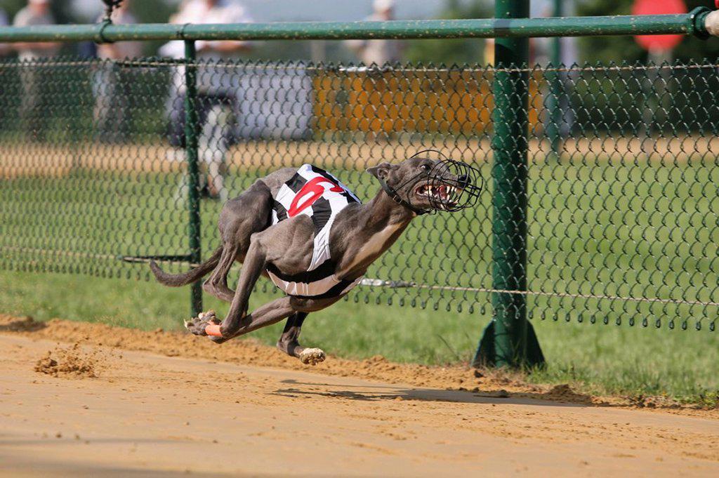 Stock Photo: 1841-15766 Whippet dog running on race track