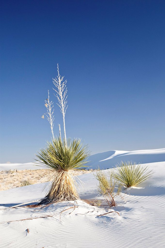 Plants in the White Sands National Monument, New Mexico, USA : Stock Photo