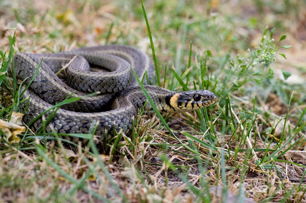 Stock Photo: 1841-16463 Close_up of Grass Snake Natrix natrix in forest
