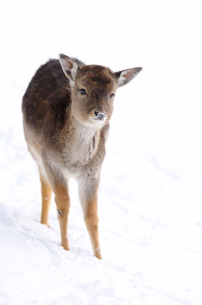 Stock Photo: 1841-16673 Fallow deer Ovis orientalis musimon in the snow, Bavaria, Germany