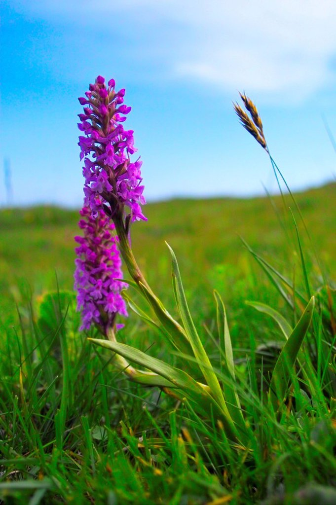 Stock Photo: 1841-17662 Early Marsh_Orchid Dactylorhiza incarnata flowers blooming in field, Styria, Austria