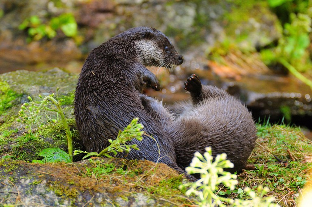 Close_up of two River Otters Lutra lutra fighting on rock, Germany : Stock Photo