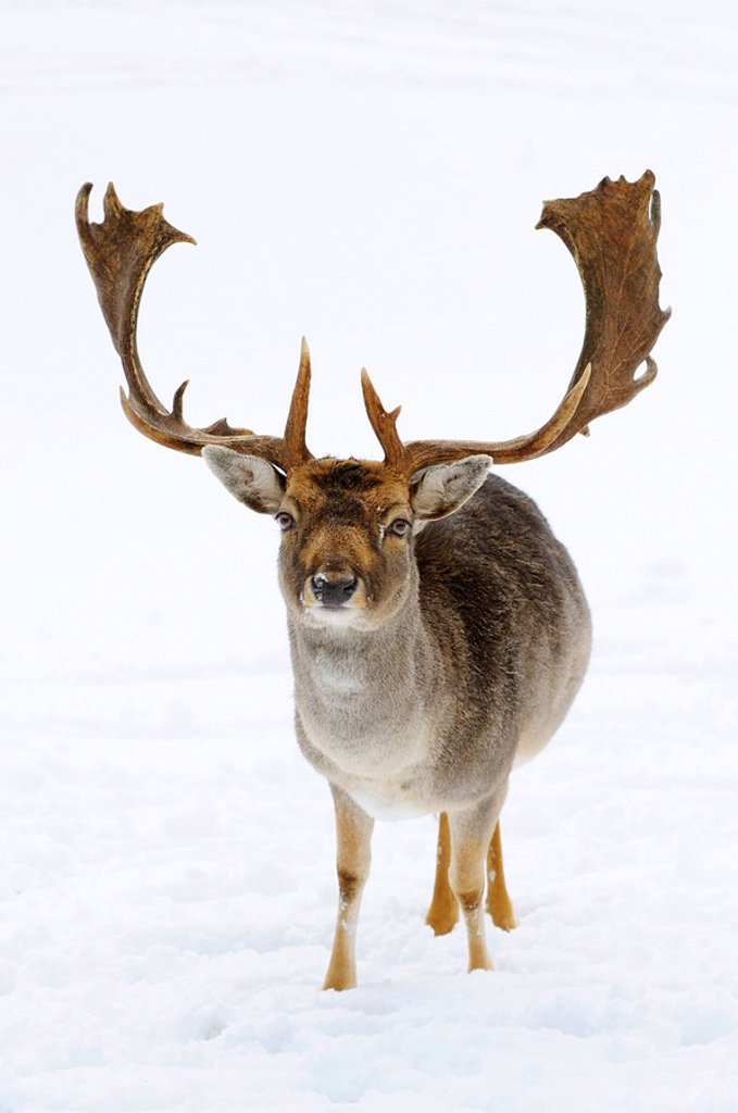 Fallow deer Ovis orientalis musimon in the snow, Bavaria, Germany, front view : Stock Photo