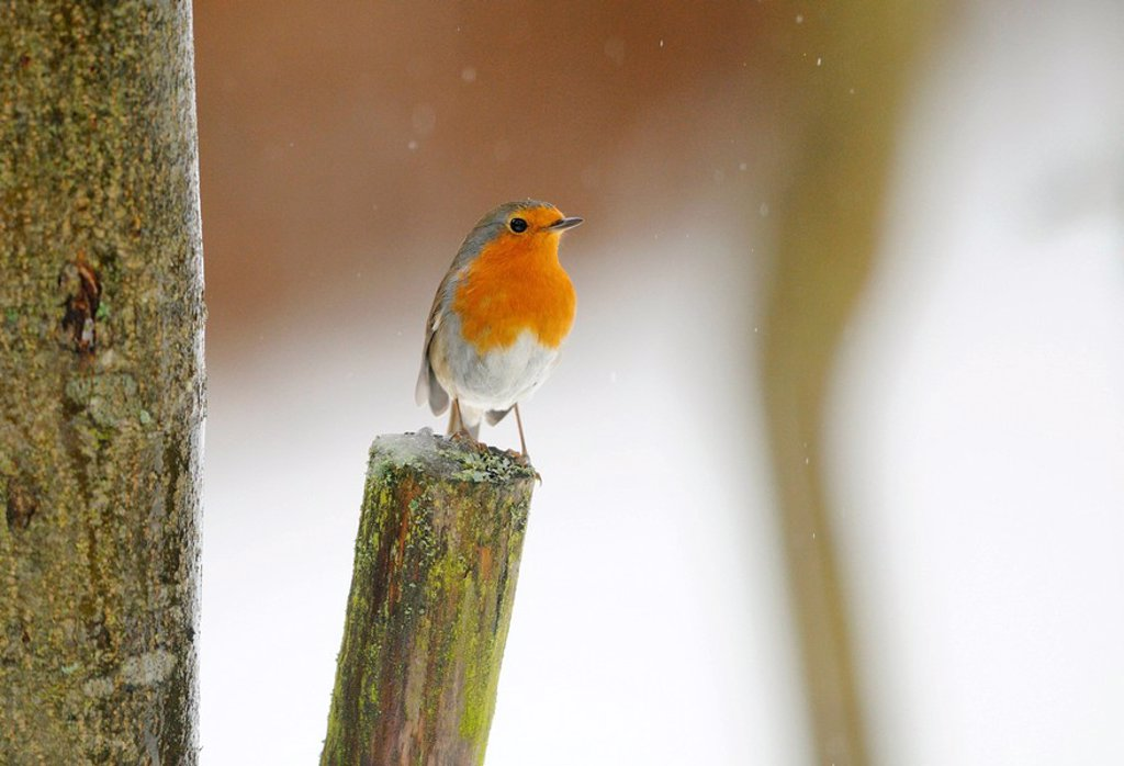 Robin redbreast Erithacus rubecula sitting on a branch, Bavaria, Germany, close_up : Stock Photo
