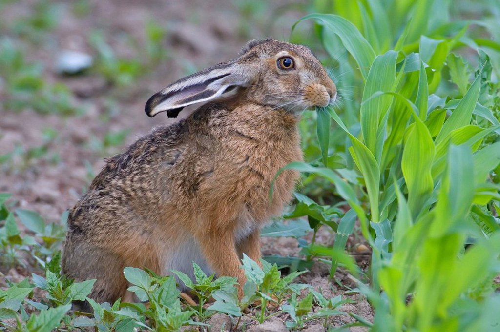 Stock Photo: 1841-21704 Close_up of Brown Hare Lepus capensis in field