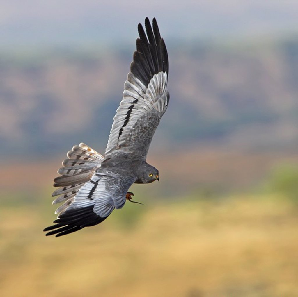 Montagues Harrier Circus pygargus airborne with prey : Stock Photo