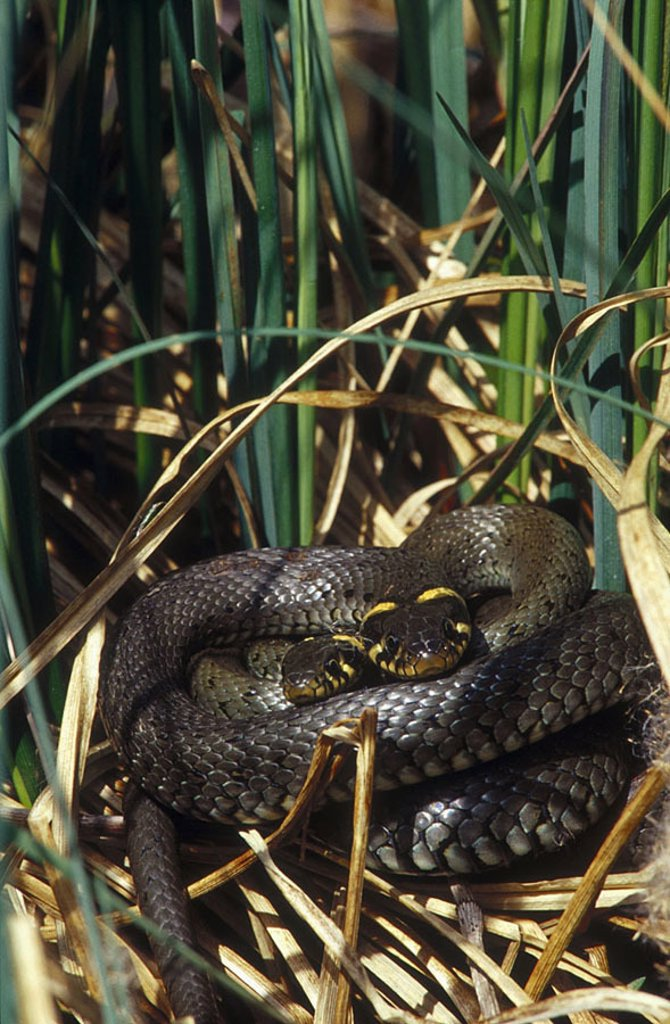 Stock Photo: 1841-22865 Grass Snake Natrix natrix pairing in forest