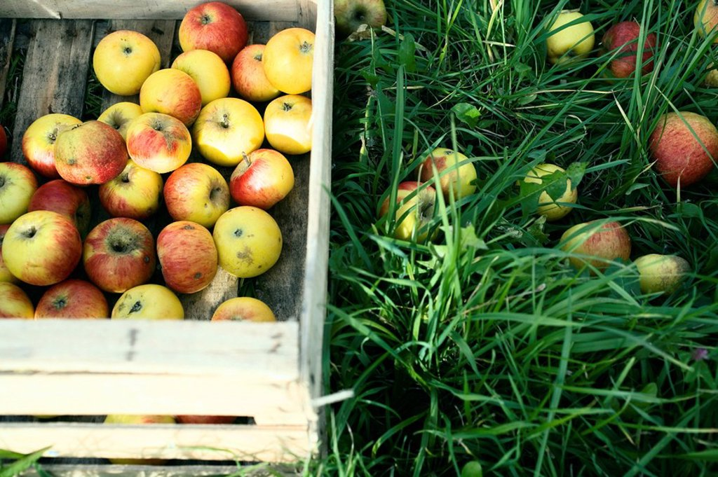 Apples in crate : Stock Photo