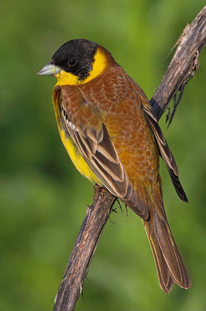 Stock Photo: 1841-23216 Black_headed Bunting Emberiza melanocephala sitting on branch, close_up