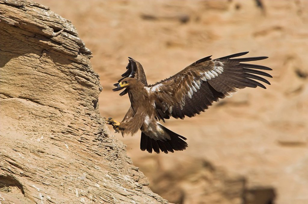Steppe Eagle Aquila nipalensis landing on a rock : Stock Photo