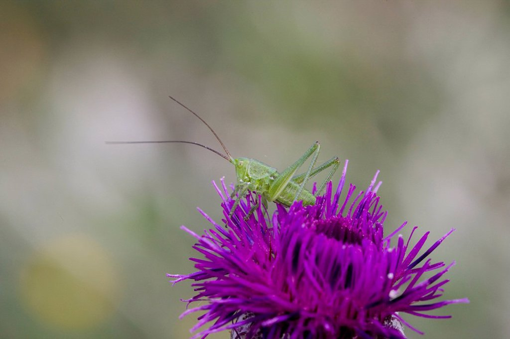 Stock Photo: 1841-24326 Close_up of grasshopper on flower