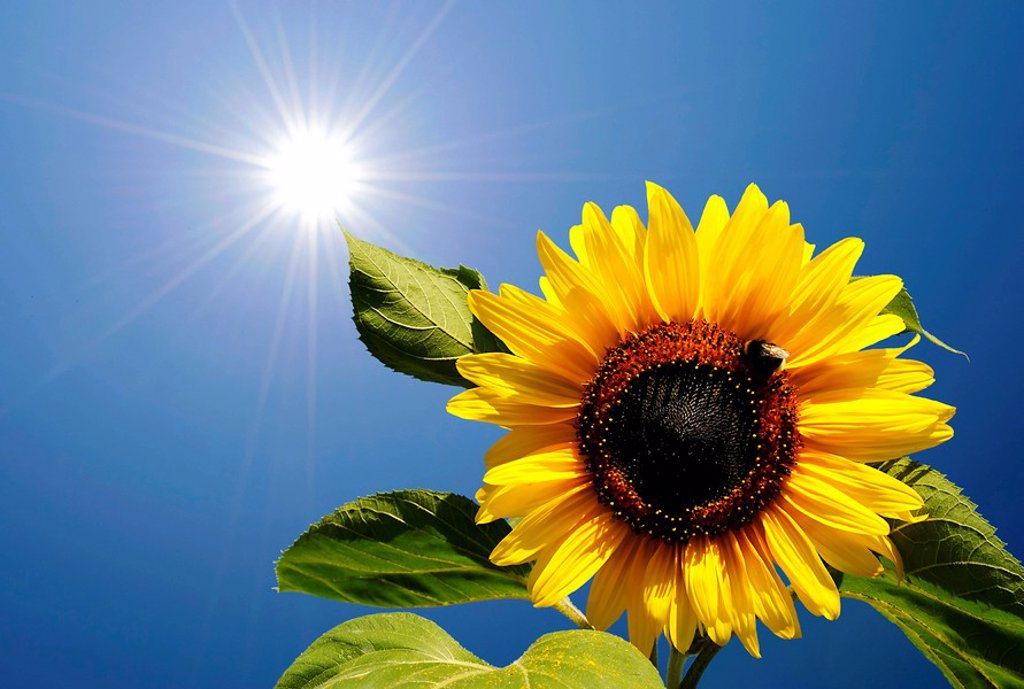 Stock Photo: 1841-2564 Sunflower blossom Helianthus annuus in front of blue sky with aureola, contre_jour photograph