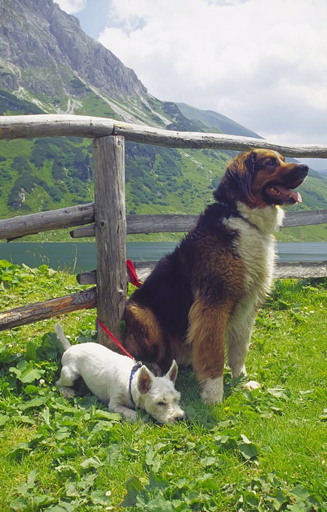 Dog sitting with puppy near fence in field, St. Johann im Pongau, Salzburg, Austria : Stock Photo