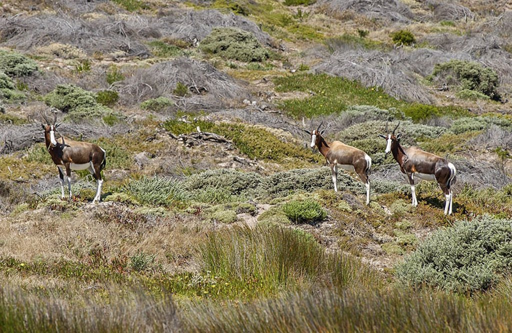 Three Bontebok Damaliscus dorcas standing in steppe, Cape of Good Hope Nature Reserve, Cape Town, South Africa : Stock Photo