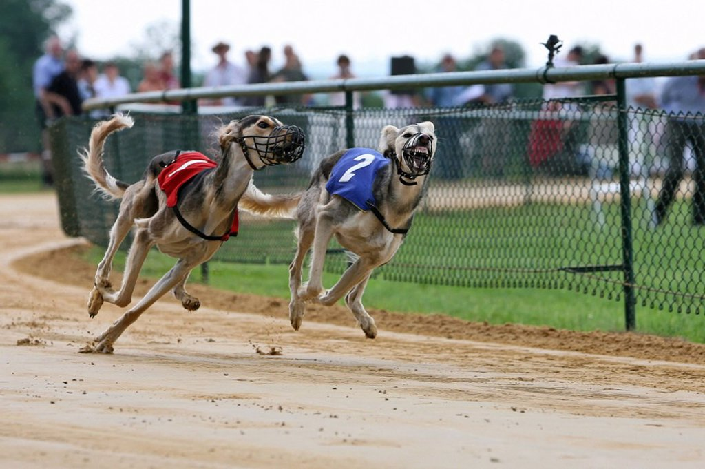 Whippet dogs running on race track : Stock Photo
