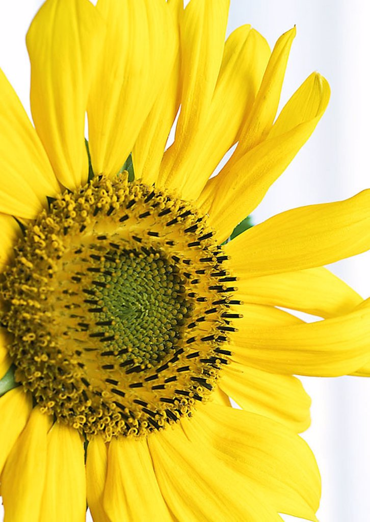 Stock Photo: 1841-27625 Close_up of sunflower Helianthus Annus
