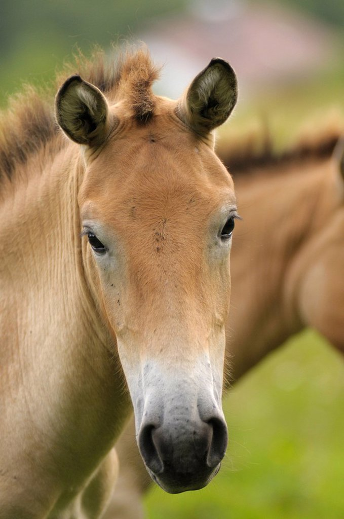 Przewalski´s wild horse, Equus przewalskii, portrait, bavarian forest, Germany : Stock Photo
