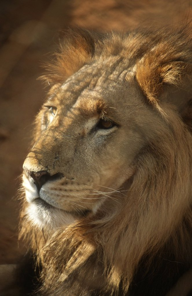 Close_up of lion Panthera leo : Stock Photo