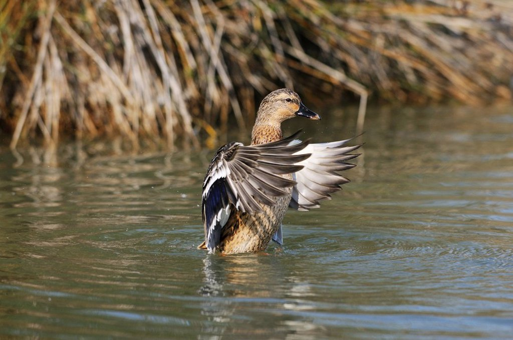 Stock Photo: 1841-28908 Mallard duck Anas platyrhynchos fluttering on the water, Catalonia, Spain