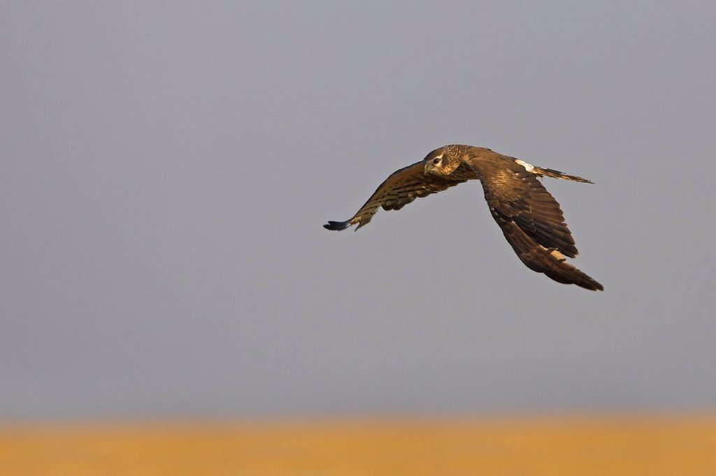 Montagu´s Harrier Circus pygargus in flight : Stock Photo