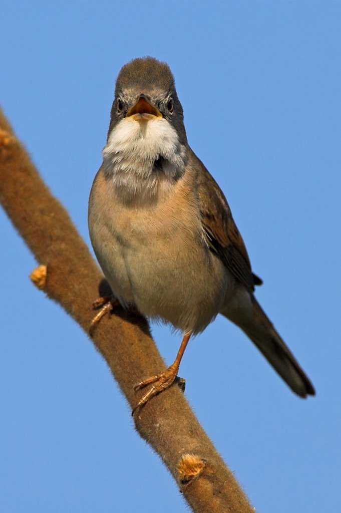 Close_up of Whitethroat Sylvia Communis perching on branch : Stock Photo