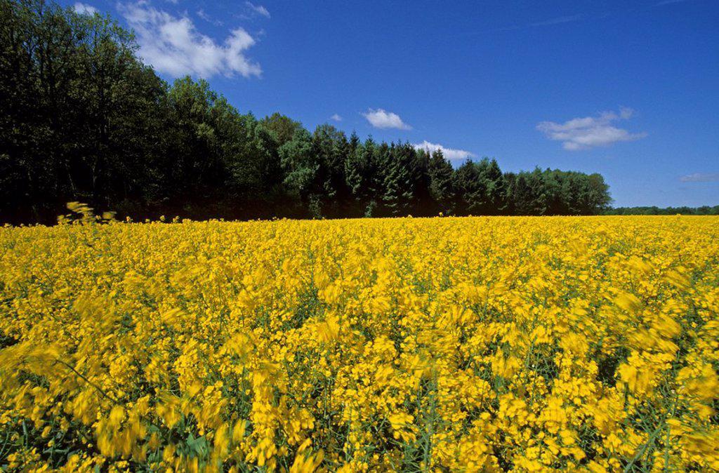 Stock Photo: 1841-30644 Oilseed Rape Brassica napus flowers blooming in field, Schleswig_Holstein, Germany
