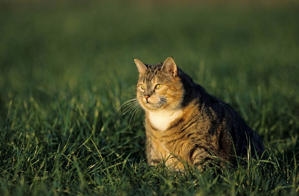 Stock Photo: 1841-30668 Close_up of cat sitting in field, Schleswig_Holstein, Germany
