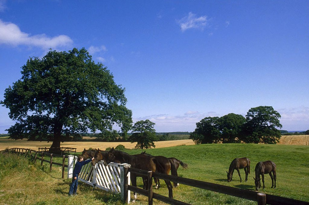 Stock Photo: 1841-32159 Horses in paddock, Hohwacht Bay, Trakehnian, Schleswig_Holstein, Germany