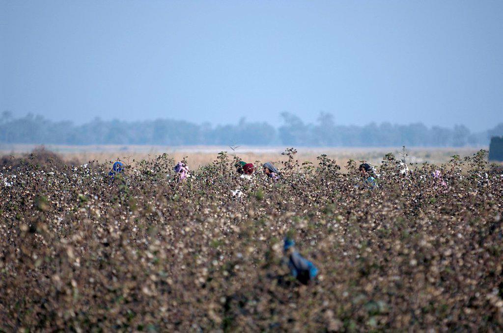 Stock Photo: 1841-32332 Farmers in field, Multan, Punjab, Pakistan