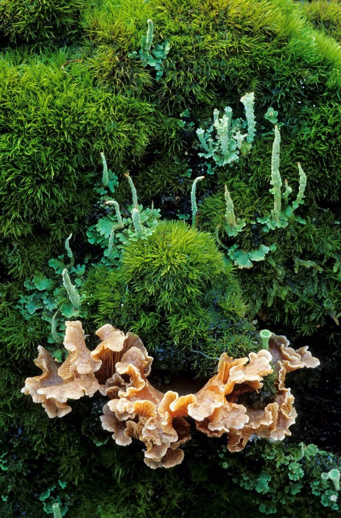Stock Photo: 1841-32457 Bleeding oak_Crust Stereum gausapatum mushrooms growing in forest, Schleswig_Holstein, Germany