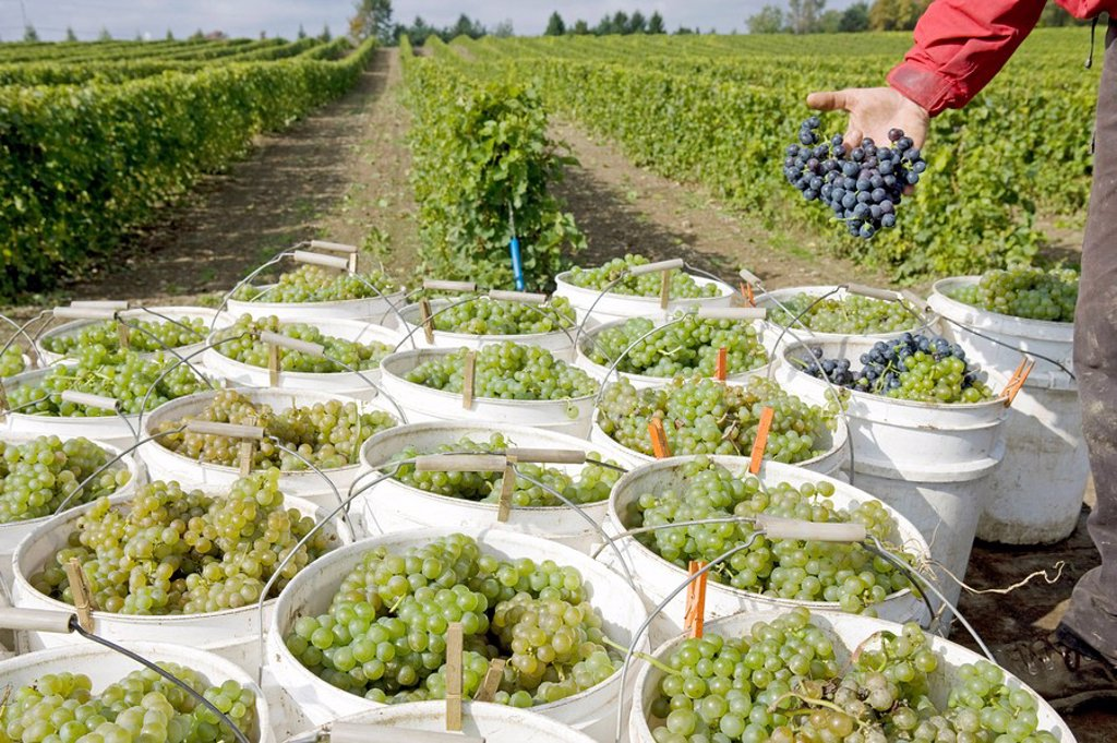 Stock Photo: 1841-33146 vineyard near Quebec, Canada