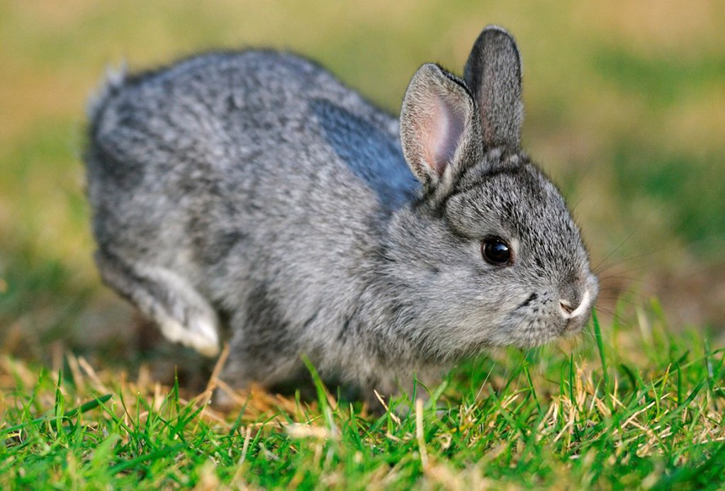 Stock Photo: 1841-33279 American Chinchilla hopping in the grass