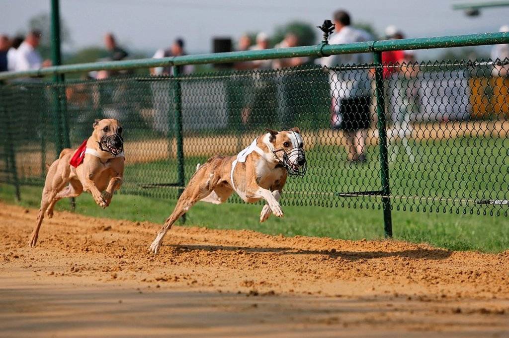Stock Photo: 1841-33555 Whippet dogs running on race track