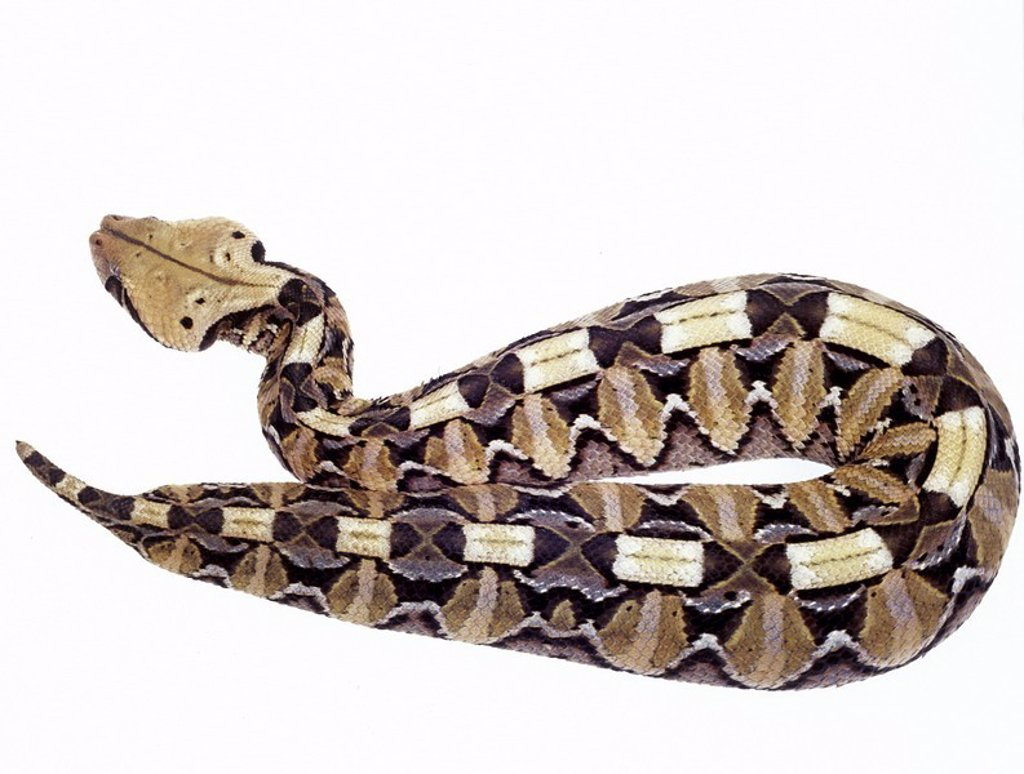 Stock Photo: 1841-34080 Close_up of gaboon viper on white background