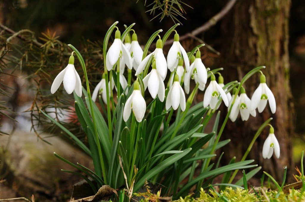 Close_up of snowdrop flowers blooming in field, Franconia, Bavaria, Germany : Stock Photo