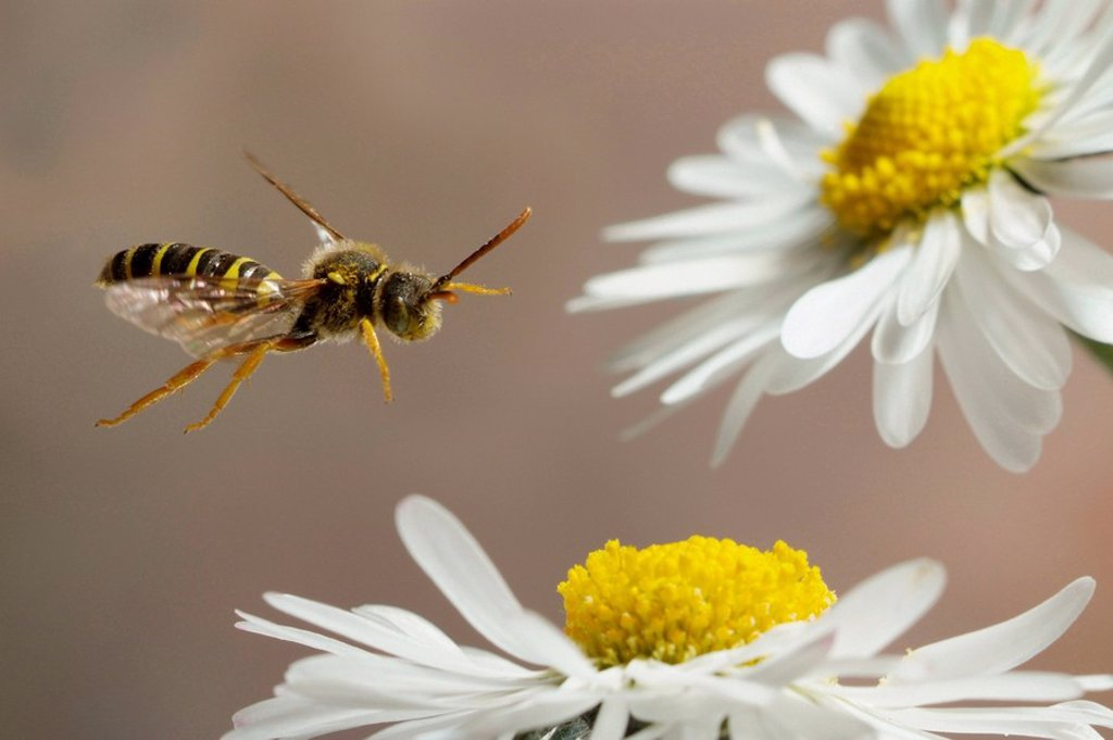 Close_up of bee flying over daisy Bellis perennis flower : Stock Photo