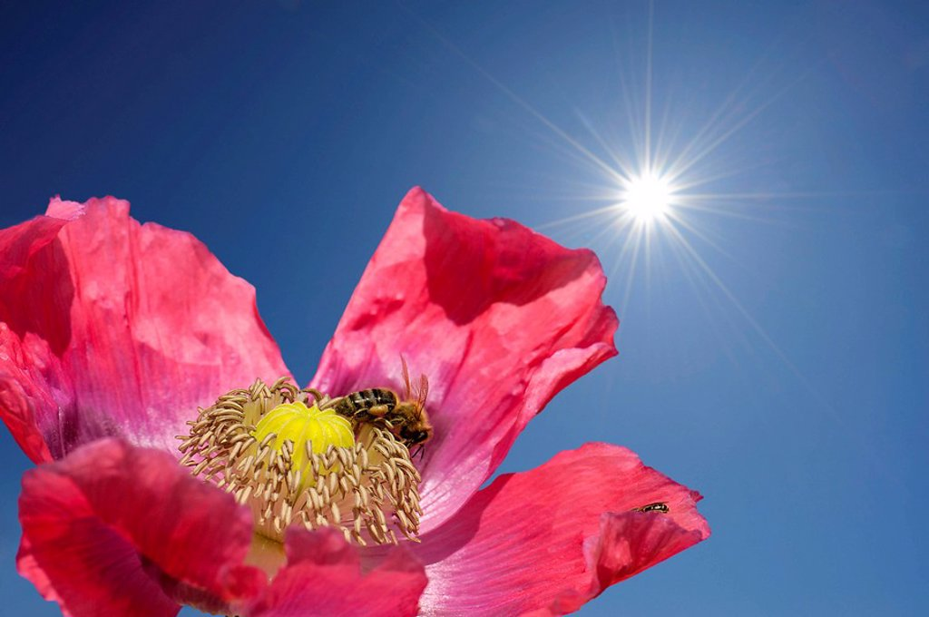 Opium poppy Papaver somniferum with honey bee in front of blue sky with corona, close_up : Stock Photo