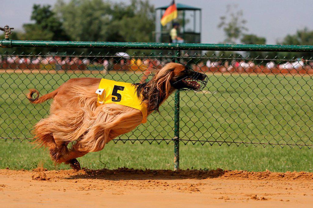 Whippet dog running on race track : Stock Photo