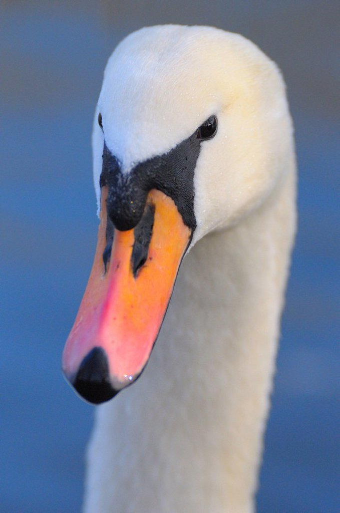 Close_up of Mute swan Cygnus Olor : Stock Photo