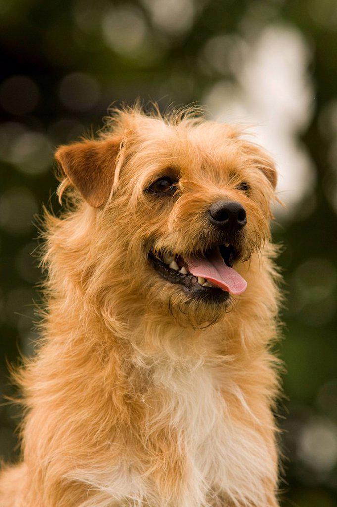 Stock Photo: 1841-36856 Yorkshire Terrier, portrait