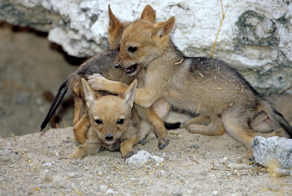 Stock Photo: 1841-36924 Black_backed jackal cubs Canis mesomelas playing, Etosha National Park, Namibia