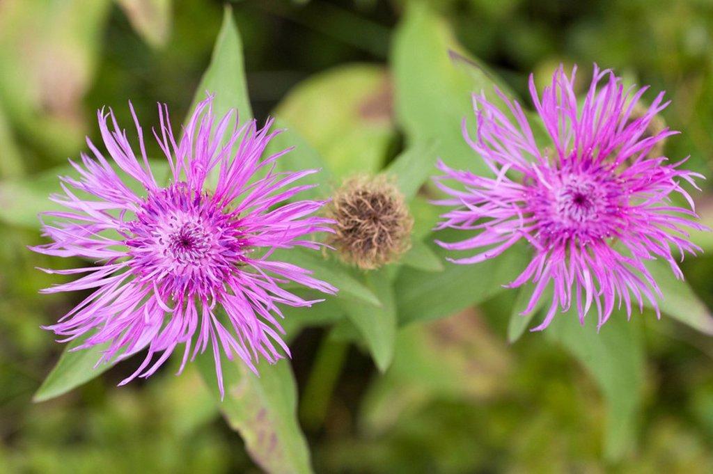 Close_up of knapweed flowers : Stock Photo