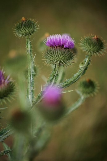 Stock Photo: 1841-37281 Close_up of blooming flowers of Alpine Thistle