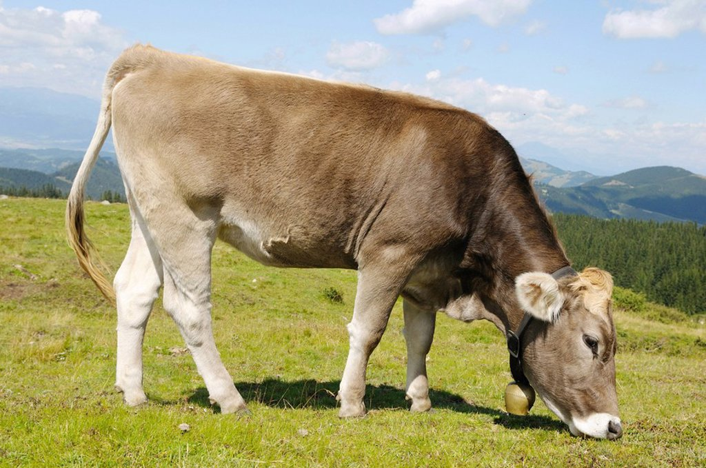 Cow grazing  Styria  A...